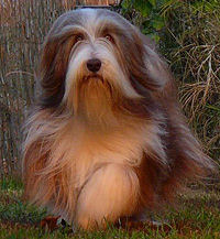 Bearded Collie Darcy